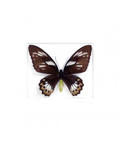 Cairns Birdwing Butterfly Female