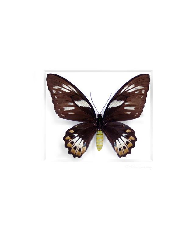 Cairns Birdwing Butterfly Female